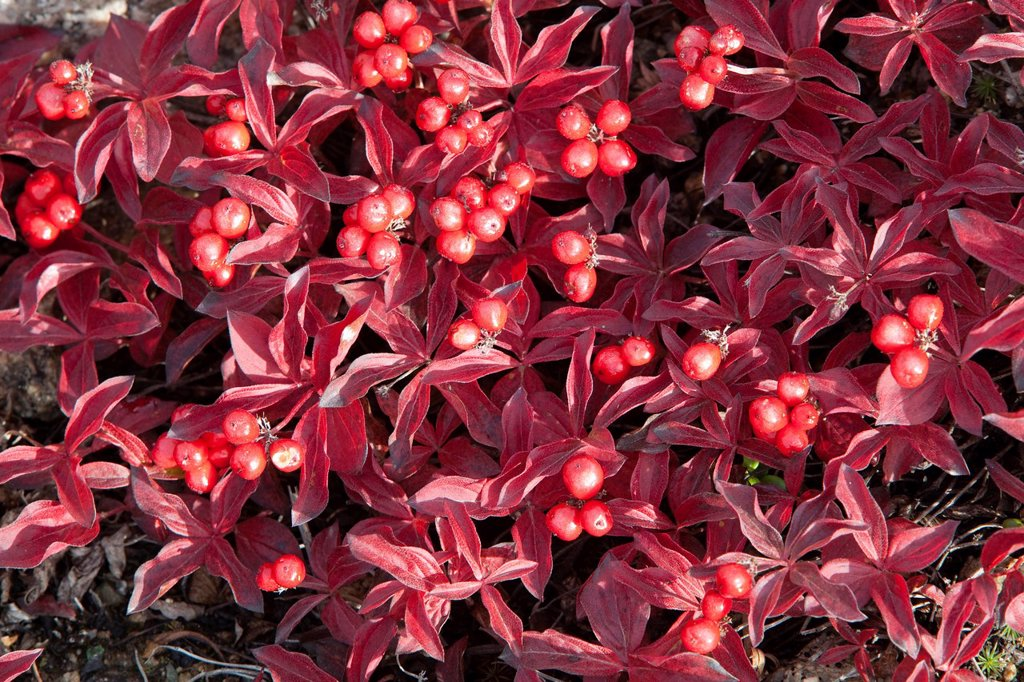 Stock Photo: 1848R-735580 Swedish Cornel or Bunchberry Cornus suecica L., subalpine tundra, Indian summer, leaves in fall colours, autumn, Yukon Territory, Canada