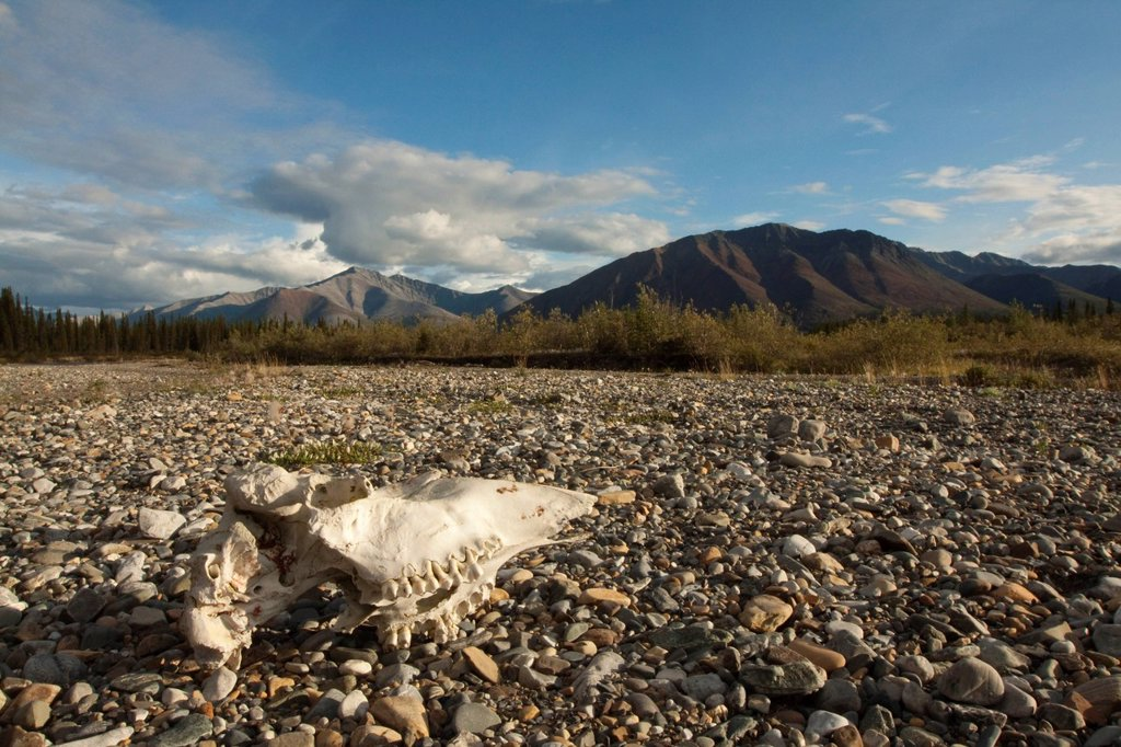 Stock Photo: 1848R-735607 Weather bleached moose scull, gravel bar, Wind River, Peel Watershed, Yukon Territory, Canada