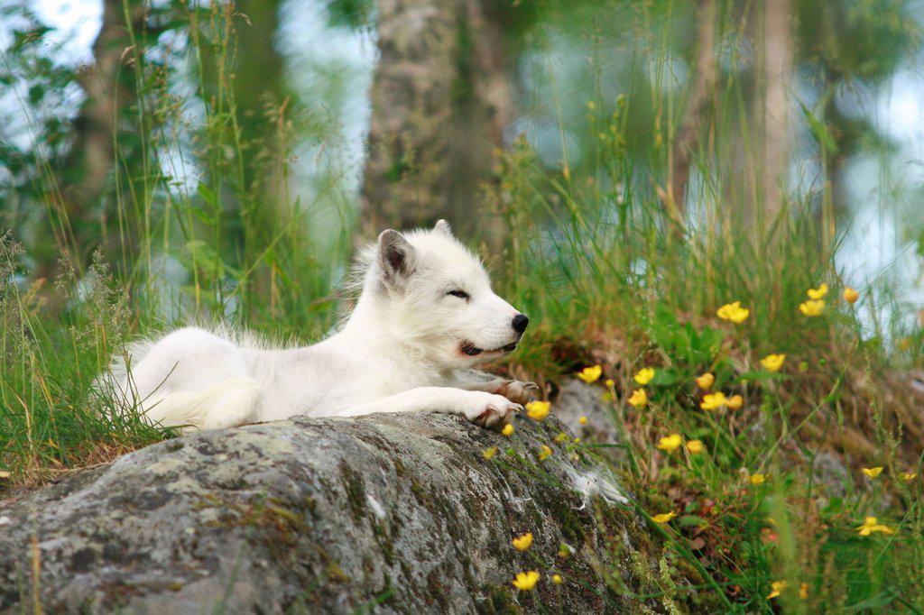 Stock Photo: 1848R-735805 Arctic fox Alopex lagopus, Norway, Scandinavia, Europe
