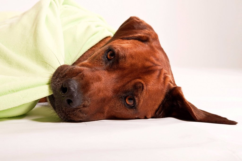 Rhodesian Ridgeback, male dog, with a blanket : Stock Photo