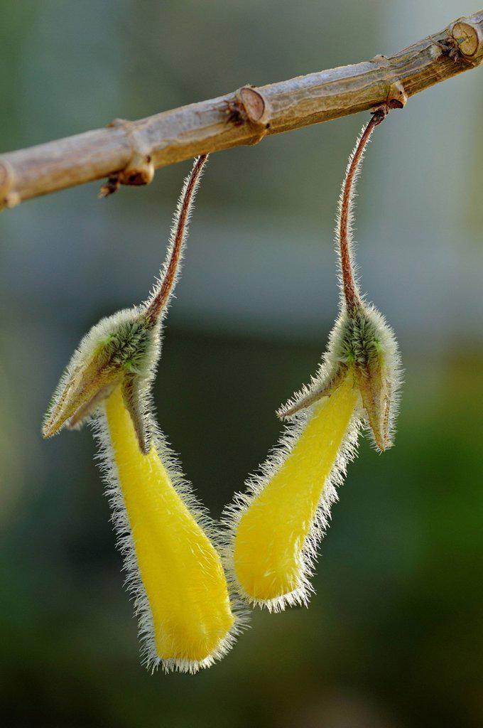 Nematanthus fluminensis, Gesneriaceae, Latin America : Stock Photo