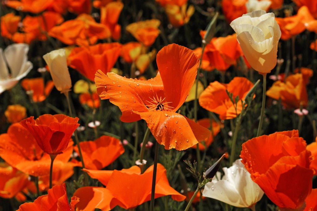 Stock Photo: 1848R-736306 Flowering Iceland poppies Papaver nudicaule with rain drops