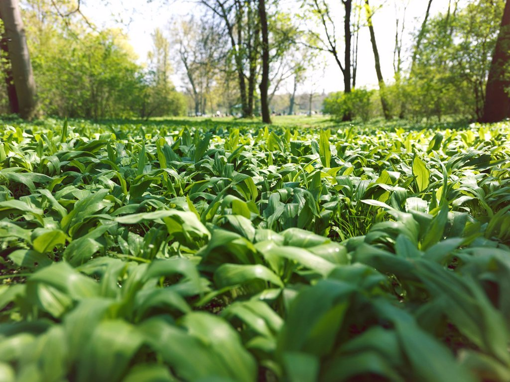 Stock Photo: 1848R-736548 Ramsons or Wild Garlic Allium ursinum