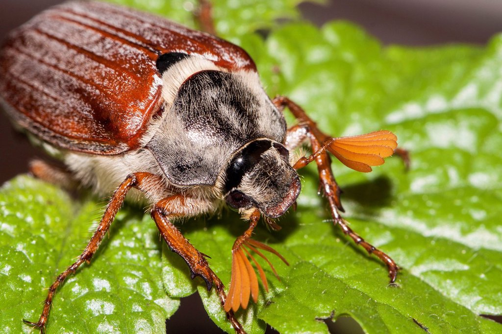 Cockchafer or May Bug Melolontha melolontha on a mint leaf : Stock Photo