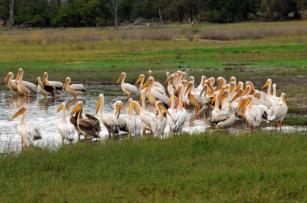 Stock Photo: 1848R-737730 White pelicans Pelecanus onocrotalus on a pond in the Moremi National Park, Botswana, Africa