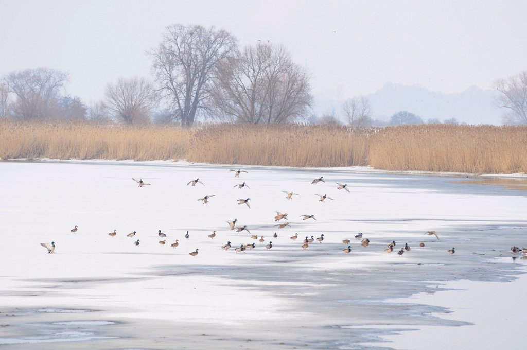 Stock Photo: 1848R-737907 Mallard ducks on a frozen oxbow lake of the Elbe River in winter at Gerwisch near Magdeburg, Saxony_Anhalt, Germany, Europe