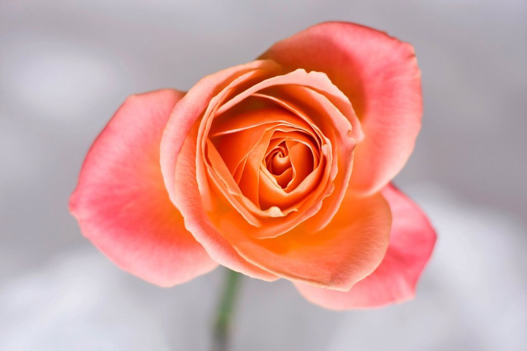 Stock Photo: 1848R-738897 Rose Rosa