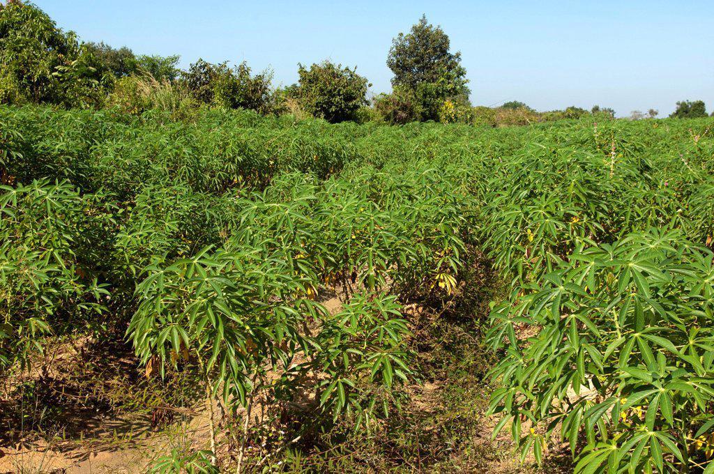 Stock Photo: 1848R-739053 Cultivation of Cassava or Manioc Manihot esculenta, Siem Reap, Cambodia, Southeast Asia