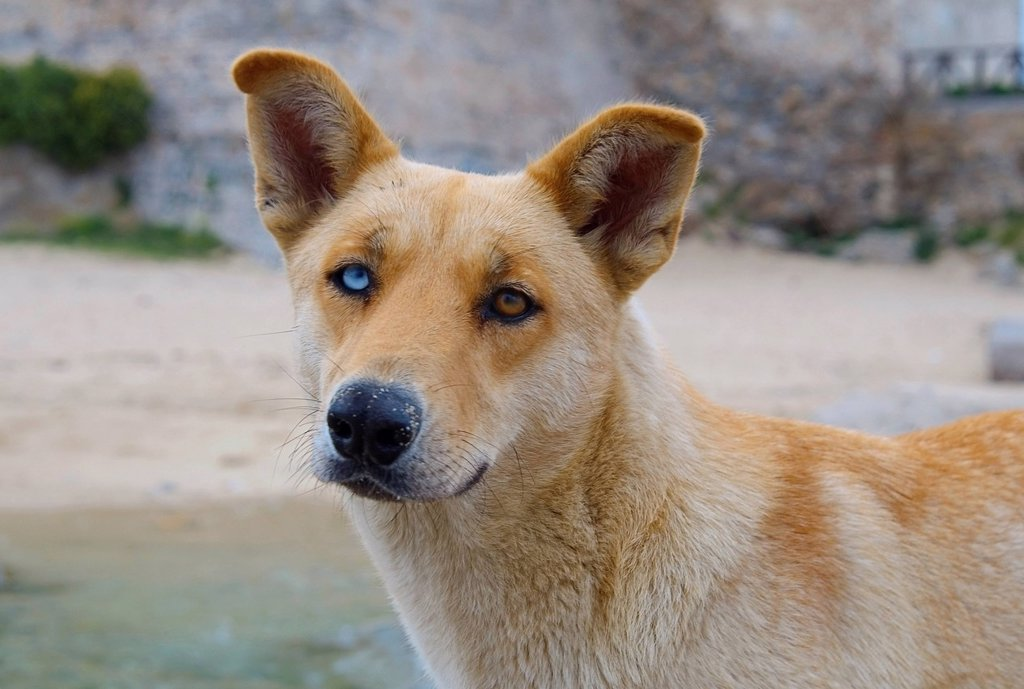 Dog with different colored eyes, Greece, Europe : Stock Photo