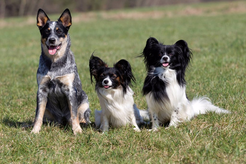 Australian Cattle Dog and two Toy Spaniel Papillons : Stock Photo