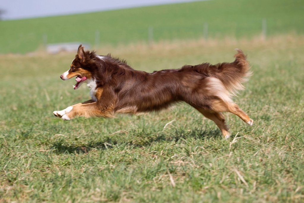 Australian Shepherd running in a meadow : Stock Photo