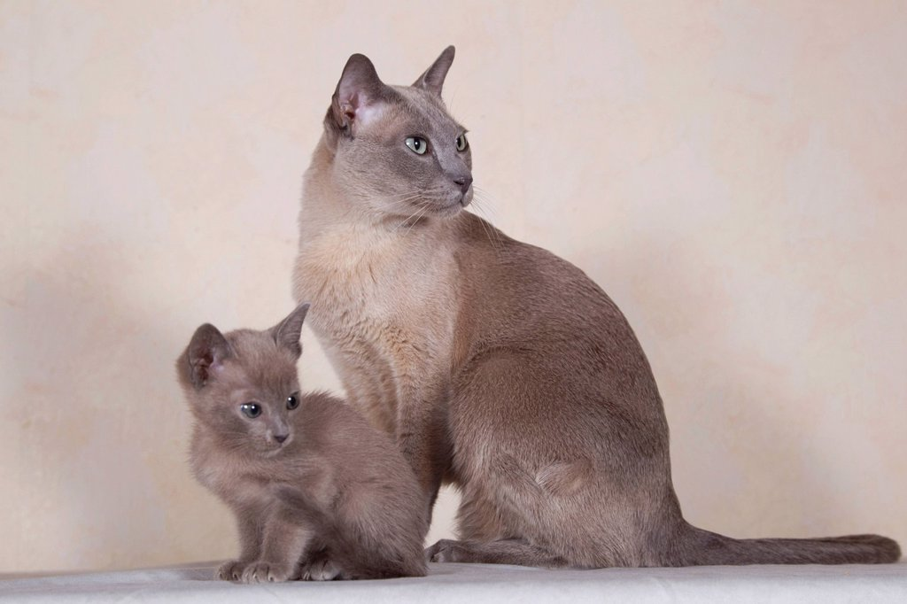 Stock Photo: 1848R-739920 Tonkinese cat breed, tomcat for breeding with kittens