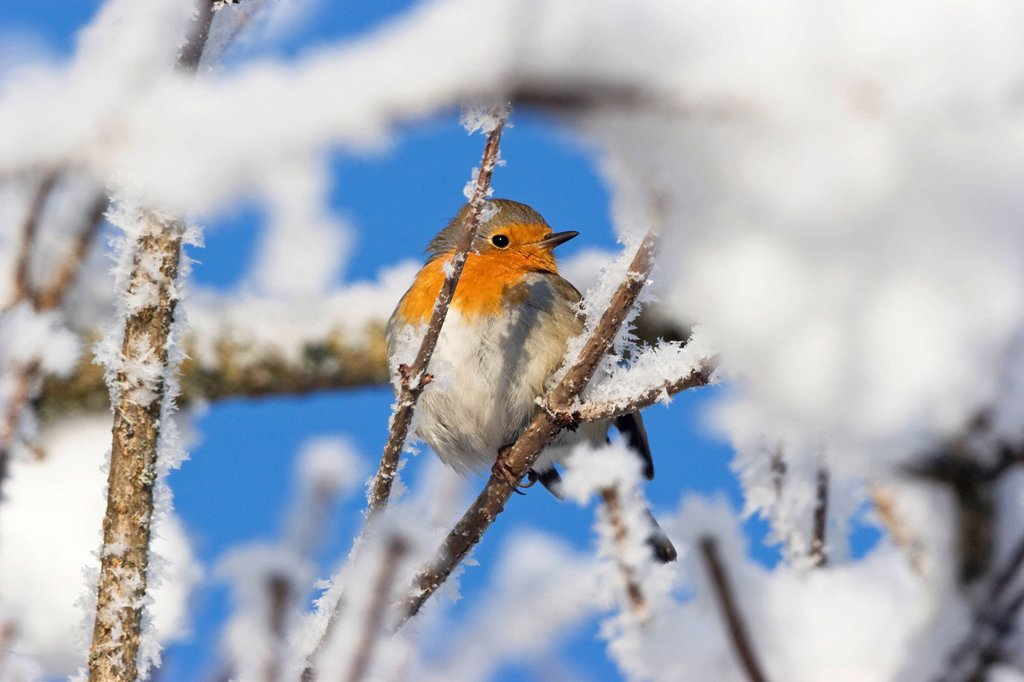European robin in the snow Erithacus rubecula, hoarfrost, Germany, Europe : Stock Photo