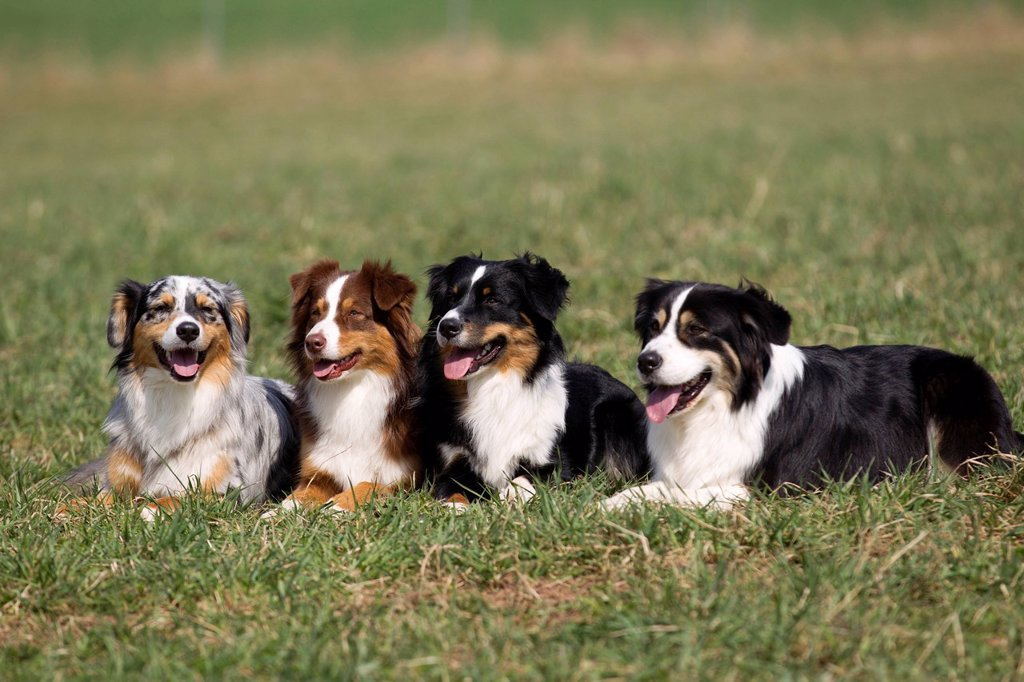 Stock Photo: 1848R-739997 Four Australian Shepherds sitting in a row in a meadow