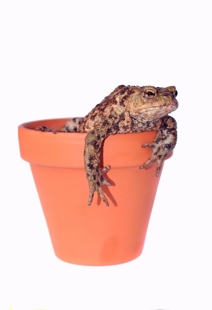 Toad Bufo bufo complex in a flower pot : Stock Photo