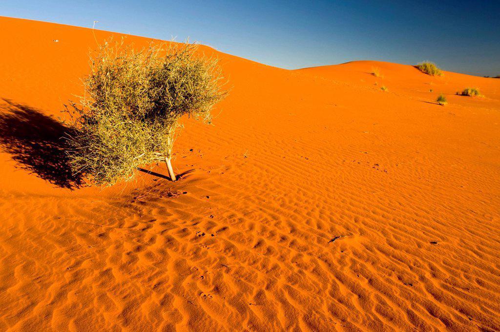 Stock Photo: 1848R-740386 Camel Thorn Acacia erioloba, red dunes, Kgalagadi Transfrontier Park, Kalahari Desert, Northern Cape, South Africa, Africa