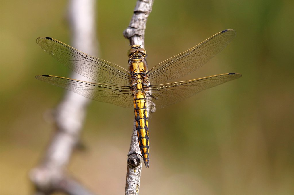 Stock Photo: 1848R-740789 Black_tailed skimmer Orthetrum cancellatum, female, Huehnermoor marsh near Marienfeld, Guetersloh, North Rhine_Westphalia, Germany, Europe