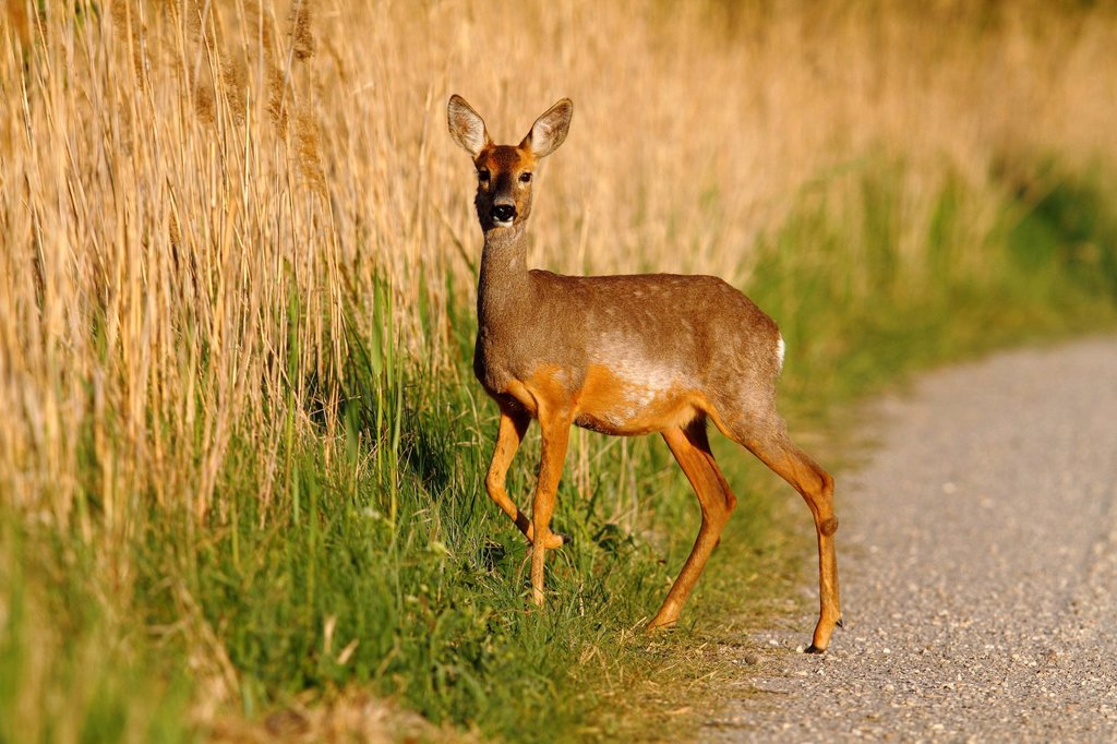 Stock Photo: 1848R-740791 Roe deer Capreolus capreolus standing on a dirt road on the edge of reeds, Lake Neusiedl, Burgenland, Austria, Europe