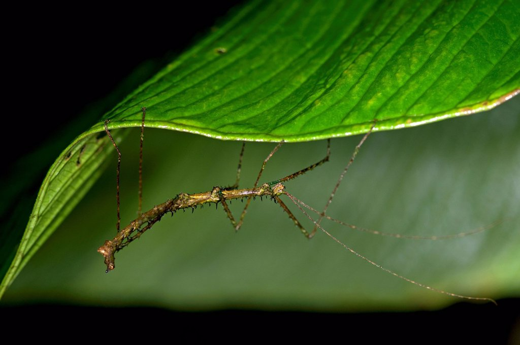 Stock Photo: 1848R-741573 Stick insect Phasmida perched on a leaf, Tandayapa region, Andean cloud forest, rainforest, Ecuador, South America