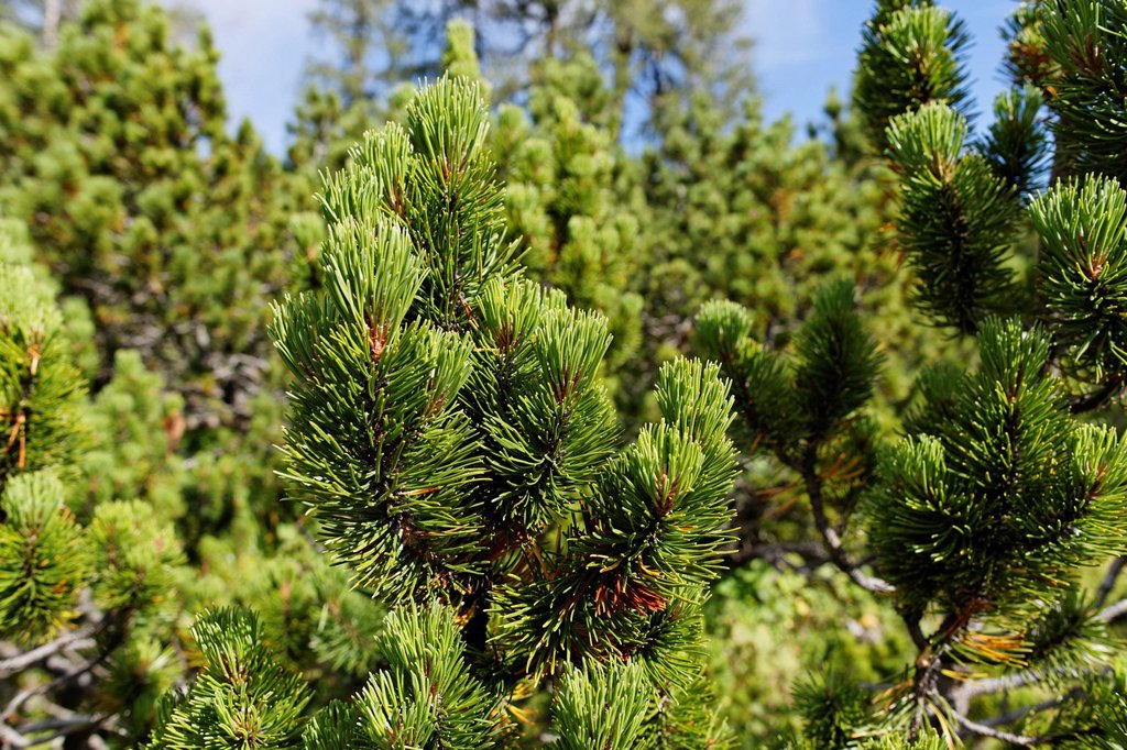 Stock Photo: 1848R-748054 Mountain Pine or Mugo Pine Pinus mugo subsp. Mugo, Hutterer Hoess, Upper Austria, Austria, Europe