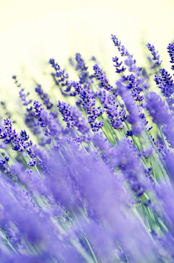 Lavender Lavandula angustifolia, Syn. Lavandula officinalis, Lavandula vera : Stock Photo