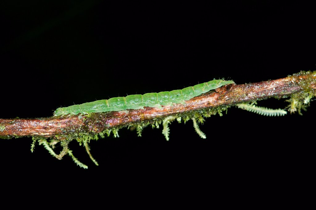 Caterpillar of an Owlet Moth in the genus of Hypena, Noctuidae, Tandayapa region, Andean mist rainforest, Ecuador, South America : Stock Photo