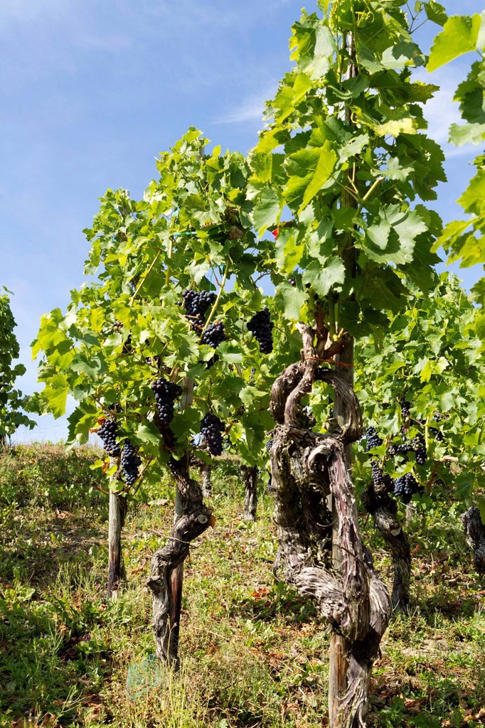 Vines on the Rotweinwanderweg wine trail, Bad Neuenahr_Ahrweiler, Rhineland_Palatinate, Germany, Europe : Stock Photo