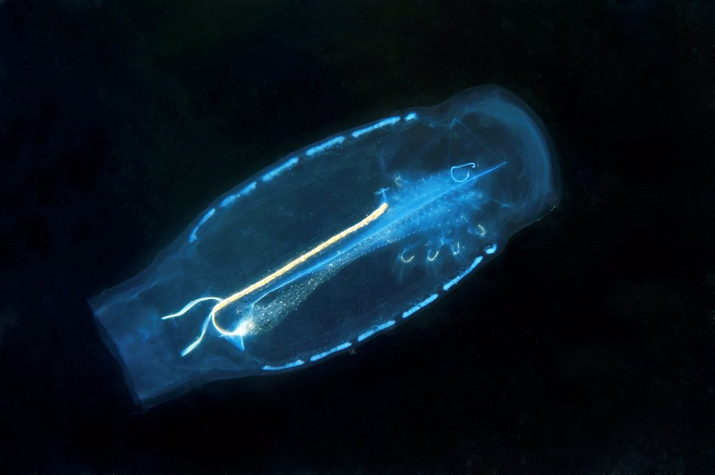 Baker´s cyclosalpa Cyclosalpa bakeri, salp, Japan Sea, Far East, Primorsky Krai, Russian Federation : Stock Photo