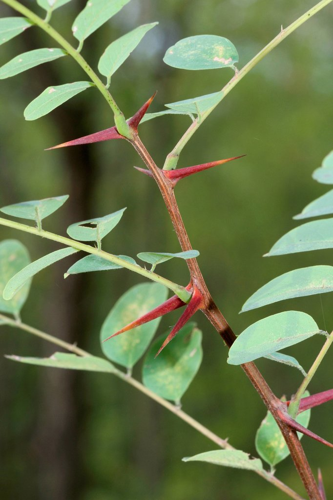 Stock Photo: 1848R-752999 Leaves and thorns of an Acacia Acacia, Hungary, Europe