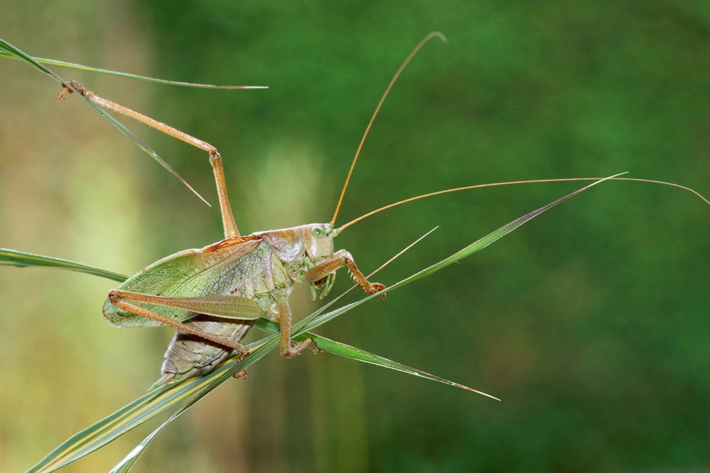 Great Green Bush_Cricket Tettigonia viridissima, Hungary, Europe : Stock Photo