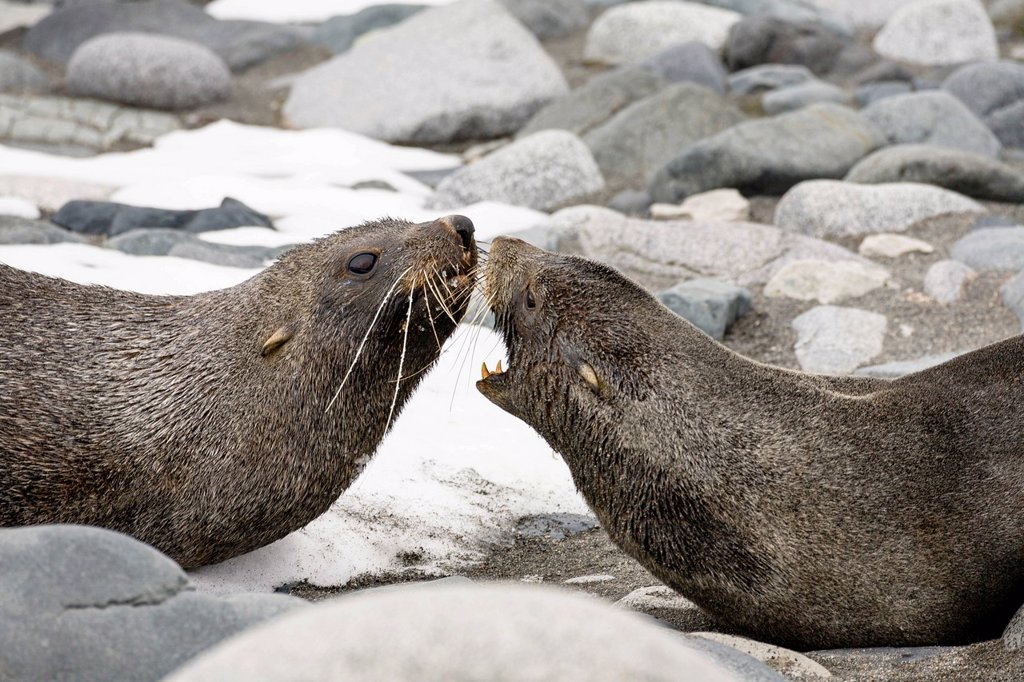 Stock Photo: 1848R-753134 Antarctic Fur Seals Arctocephalus gazella, Half Moon Island, South Shetland Islands, Antarctica
