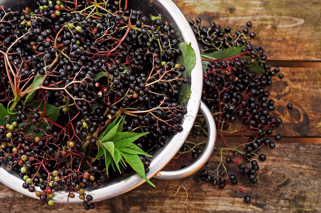 Elderberries Sambucus nigra in a colander : Stock Photo