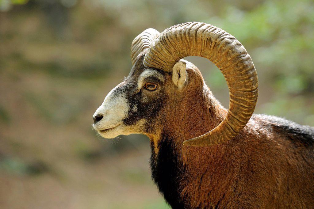 Muflon (Ovis ammon Musimon), male, ram, portrait, captive : Stock Photo