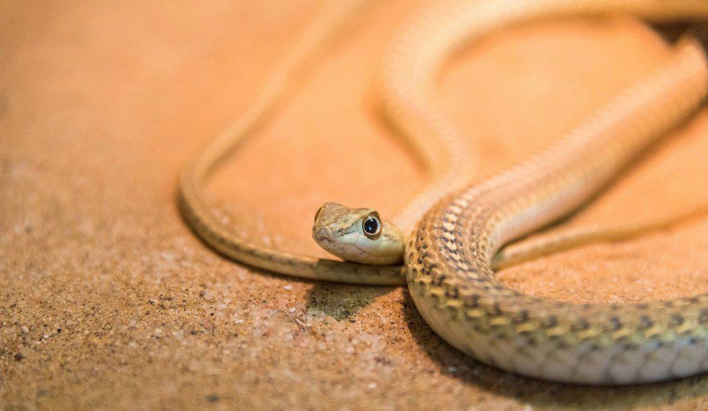 Namib Sand Snake (Psammophis namibensis), Living Desert Snake Park, Walvis Bay, Namibia : Stock Photo