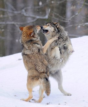 Two Wolves Fighting About Hierarchy Mackenzie Wolf