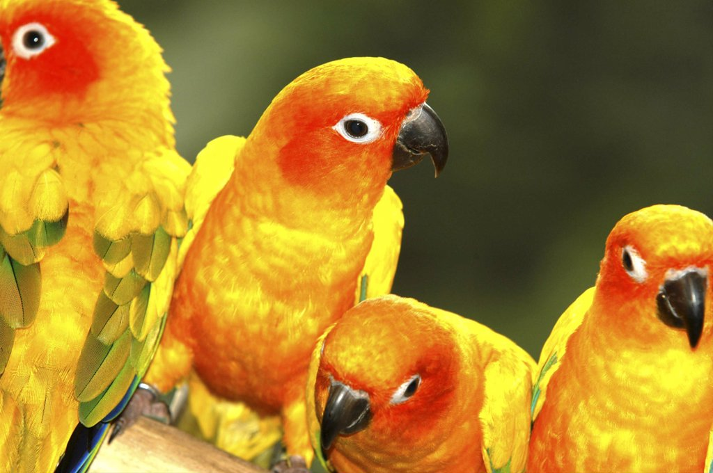 Singapore, Jurong, Jurong Bird Park. Group Of Red And Yellow Parakeets : Stock Photo