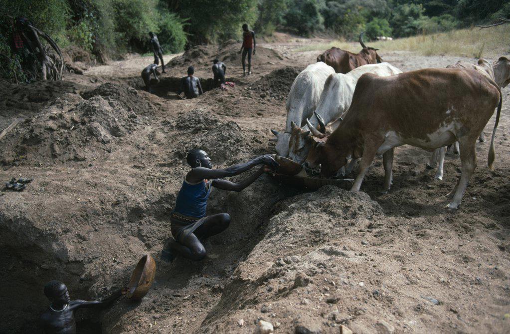 Uganda, Karamoja, Karamojong Cattle Herd Being Watered At Wells Dug Into Dry River Bed. : Stock Photo