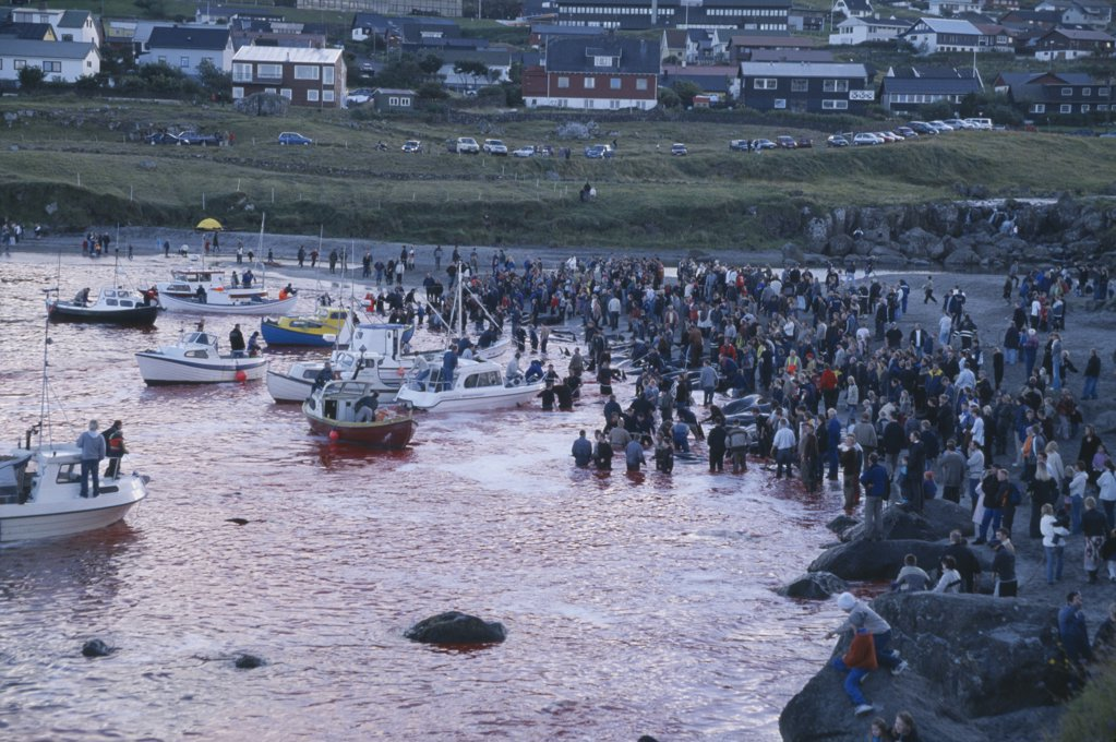 Denmark, Faroe Islands, Streymoy Island, Torshavn.  Grindadrap Traditional Killing Of Pods Of Pilot Whales.  Crowds Gathered On Beach To Watch Flotilla Of Small Fishing Boats Bring In Whale Carcasses. : Stock Photo