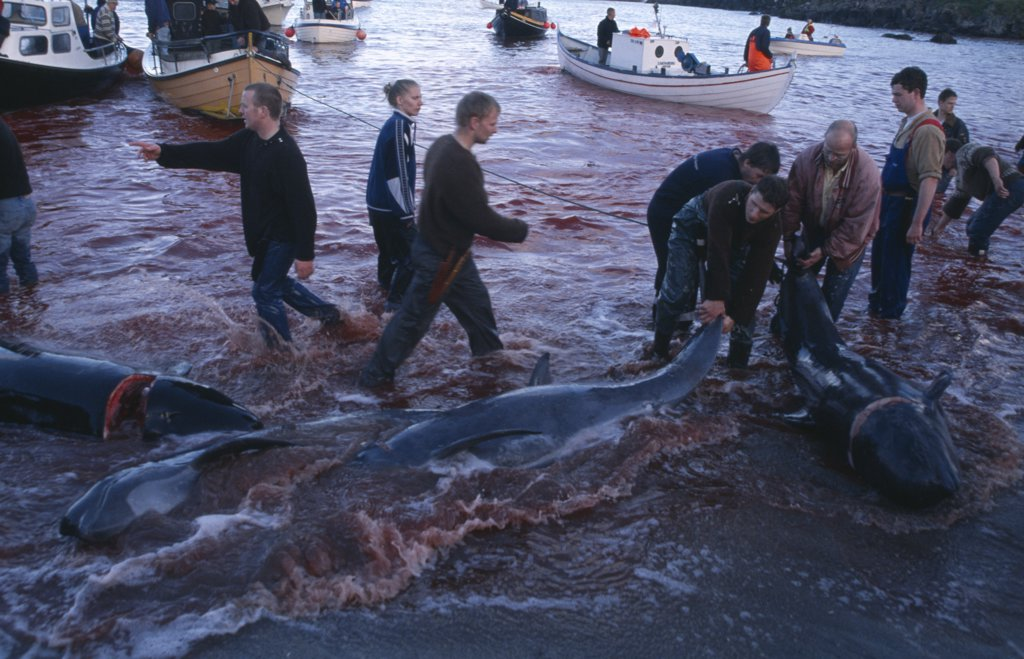 Stock Photo: 1850-10305 Denmark, Faroe Islands, Streymoy Island, Torshavn.  Grindadrap Traditional Killing Of Pods Of Pilot Whales.  Crowd Gathered On Beach To Meet Small Fishing Boats Bringing In Whale Carcasses.  Sea Red With Blood.