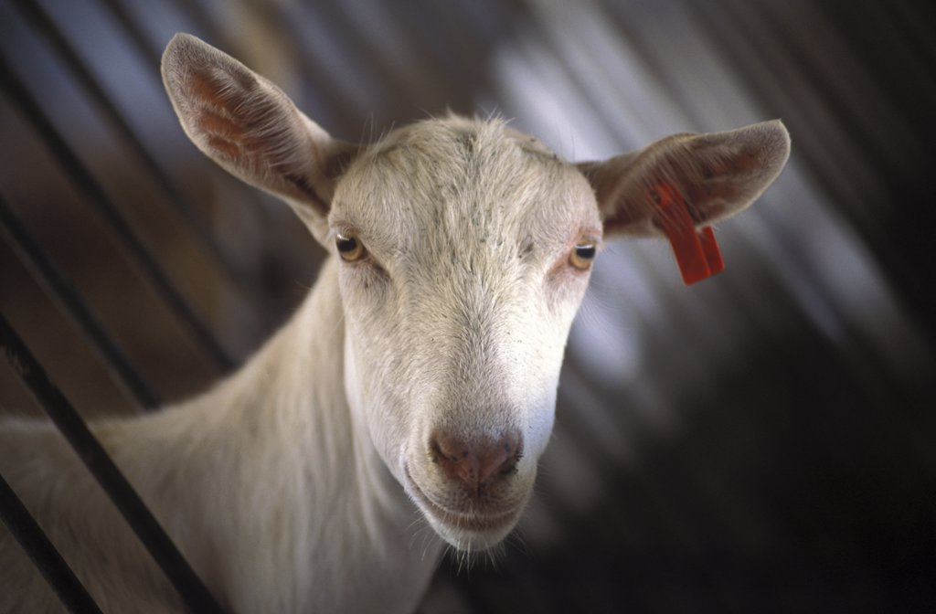 South Africa, Western Cape, Stellenbosch, Portrait Of A Goat Prior To Being Milked At Fairview Goats Cheese And Wine Estate : Stock Photo