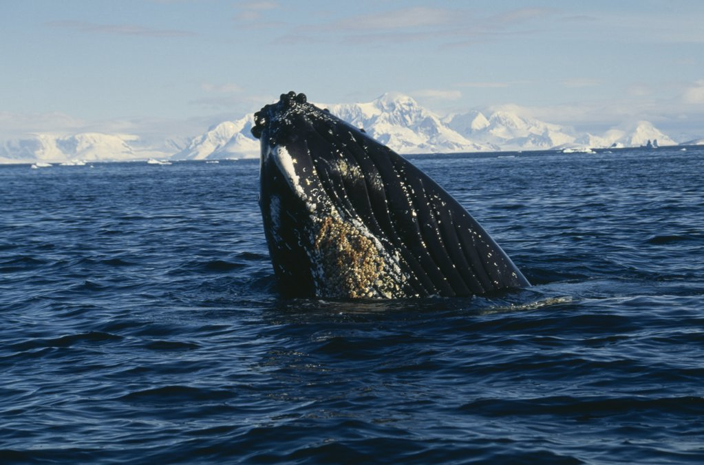 Antarctica, Antarctic Peninsula, Crystal Sound, Humpback Whale Surfacing In Water. : Stock Photo