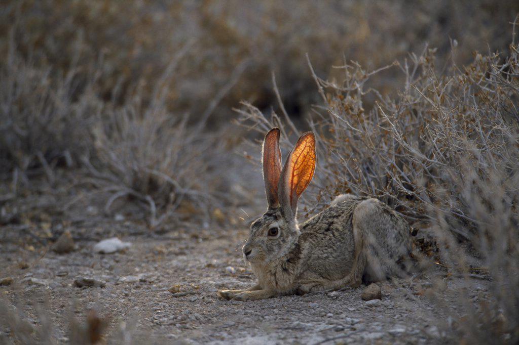 Stock Photo: 1850-10838 Namibia, Etosha National Park, Scrub Hare Sitting Near Bushes