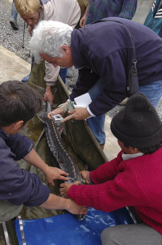 Stock Photo: 1850-11172 Romania, Tulcea, Isaccea, Female Sturgeon Being Tagged For Scientific Tracking Purposes At The Casa Caviar Sturgeon Hatchery Before Being Released In The Danube River