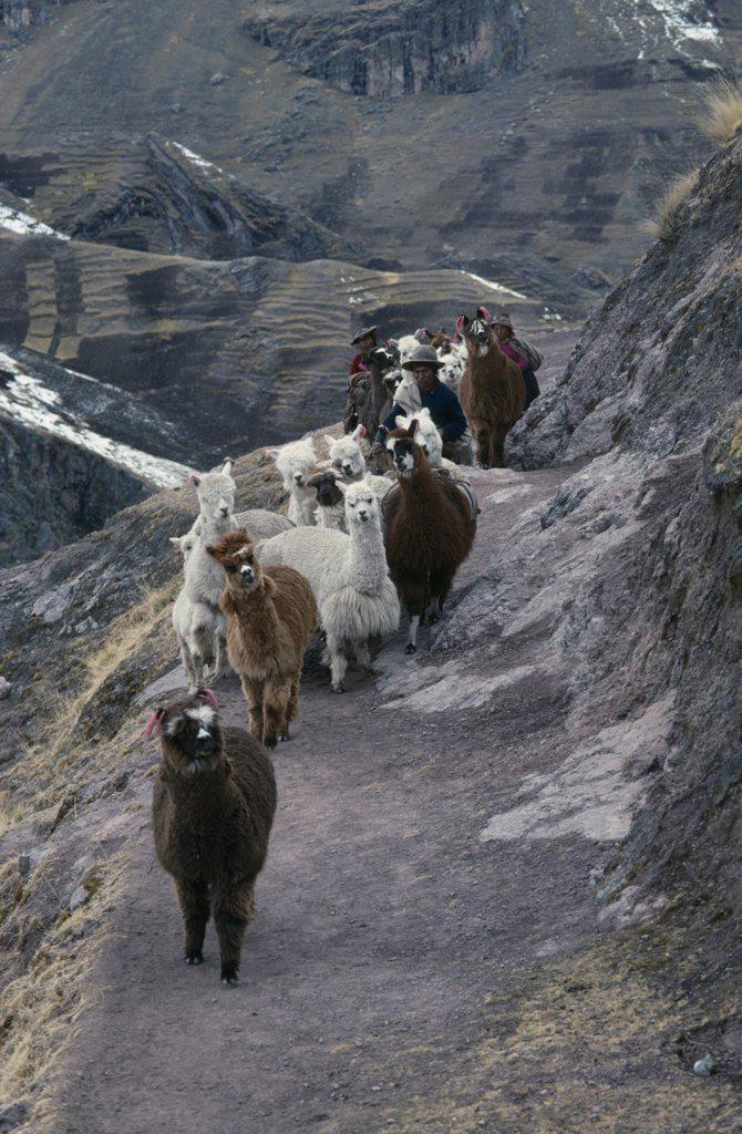 Peru, Cusco, Cordillera Vilcanota, Shepherd Family And Alpaca Herd Begining Long Descent Along Mountain Road To Market In Pitumarca. : Stock Photo
