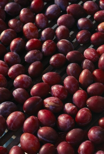 Stock Photo: 1850-1154 France, Aquitaine, Eymet, Ripe Perigordian Plums Drying In The Sun