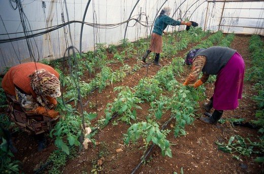 Lebanon, Beirut, Haddas.  Women Tending Plants In Polytunnel On City Outskirts. : Stock Photo