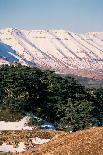 Lebanon, Landscape, Cedars Of Lebanon Cedrus Lebani.  Ancient Trees In Forest Remnant Known As Cedars Of The Lord With Snow Covered Mountains Behind. : Stock Photo