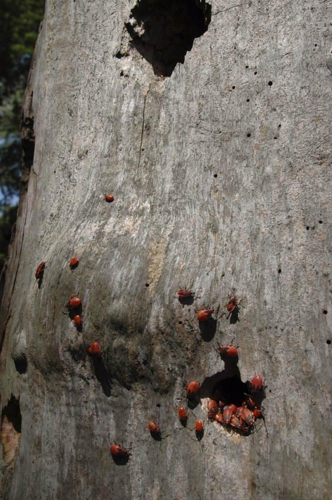 Romania, Tulcea, Danube Delta Biosphere Reserve, Red Beetles On Tree Bark In Letea National Park : Stock Photo