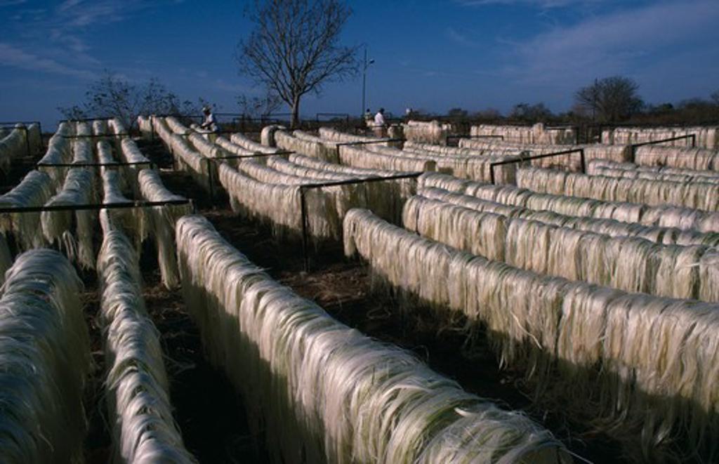 Mexico, Yucatan, Sisal Fibres Used To Make Rope On Drying Racks Near Merida. : Stock Photo