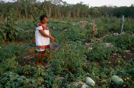 Mexico, Yucatan, Peninsula, Indian Woman Working On Her Smallholding Watering Vegetables. : Stock Photo